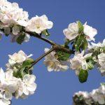 Apfelblüte 8